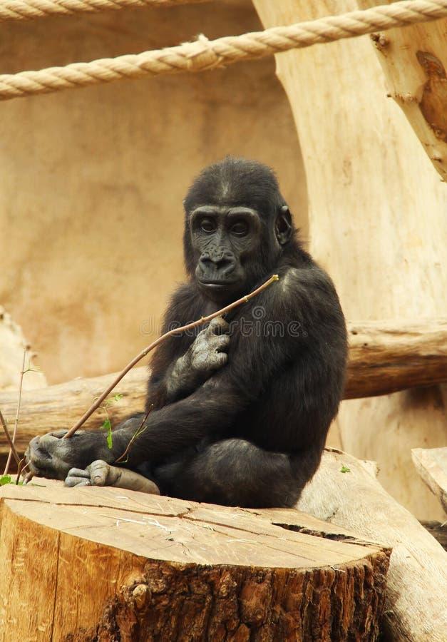 Giovane gorilla fotografia stock