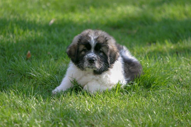 Giovane grandi cucciolo Terranova/di Pirenei che gode di un giorno di molla immagini stock libere da diritti