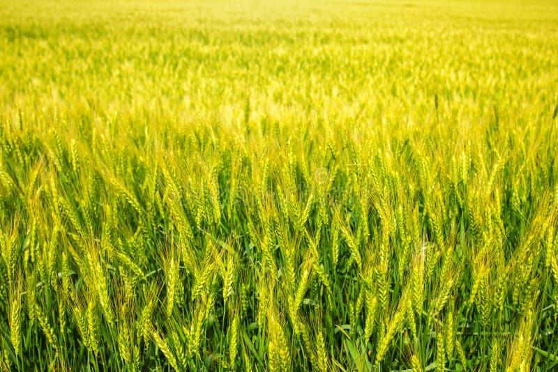 Giovane grano verde e giallo fotografie stock
