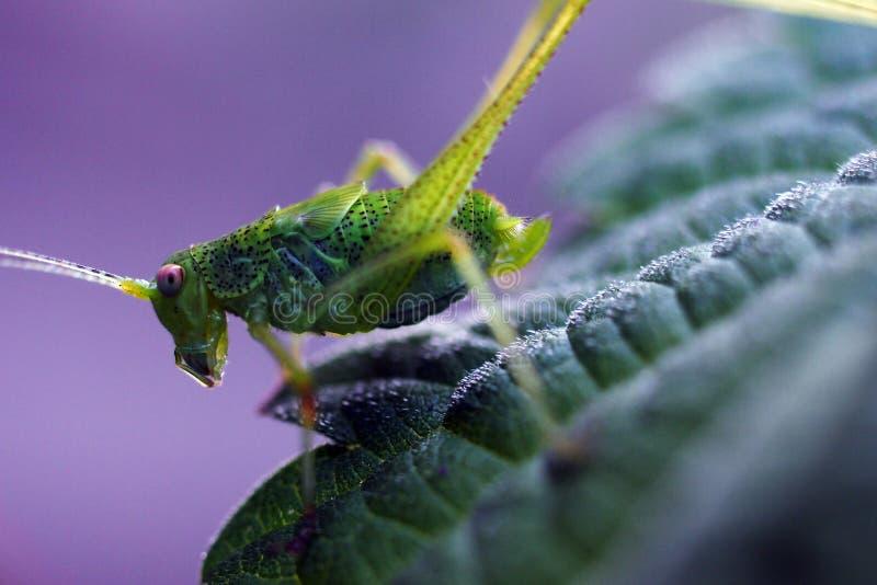 Giovane grilli Phaneroptera Nana dei katydids immagini stock libere da diritti