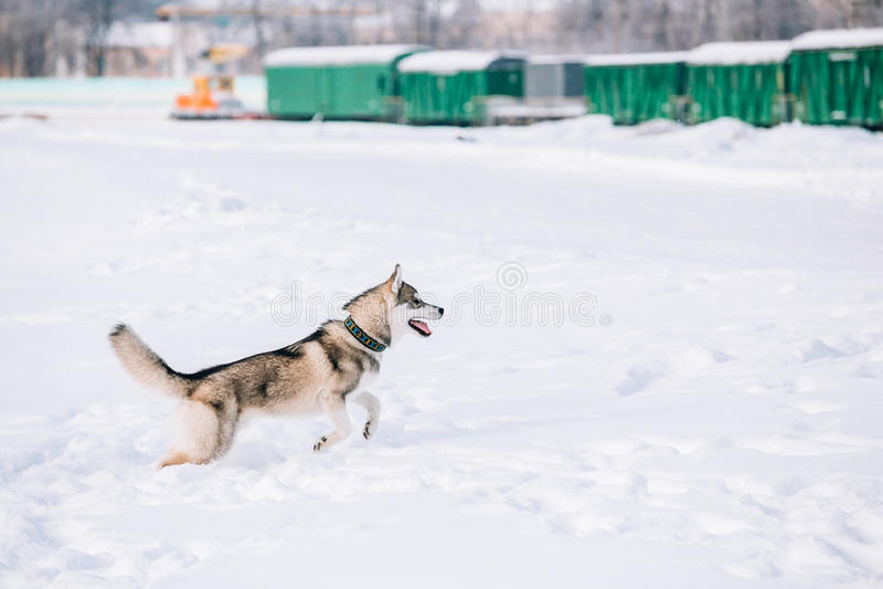 Giovane Husky Dog Play, funzionamento all'aperto in neve, inverno immagini stock