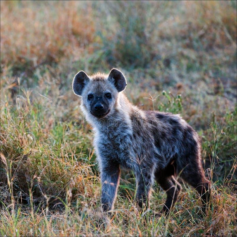 Giovane hyena macchiato. immagine stock libera da diritti