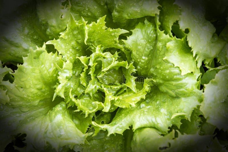 Giovane, insalata verde su un primo piano del letto Alimento sano vignette fotografie stock