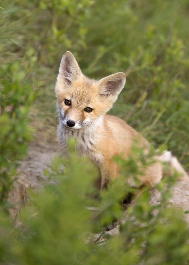 Giovane kit di Fox immagine stock