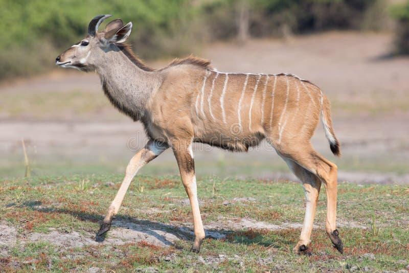 Giovane Kudu maschio fotografie stock libere da diritti