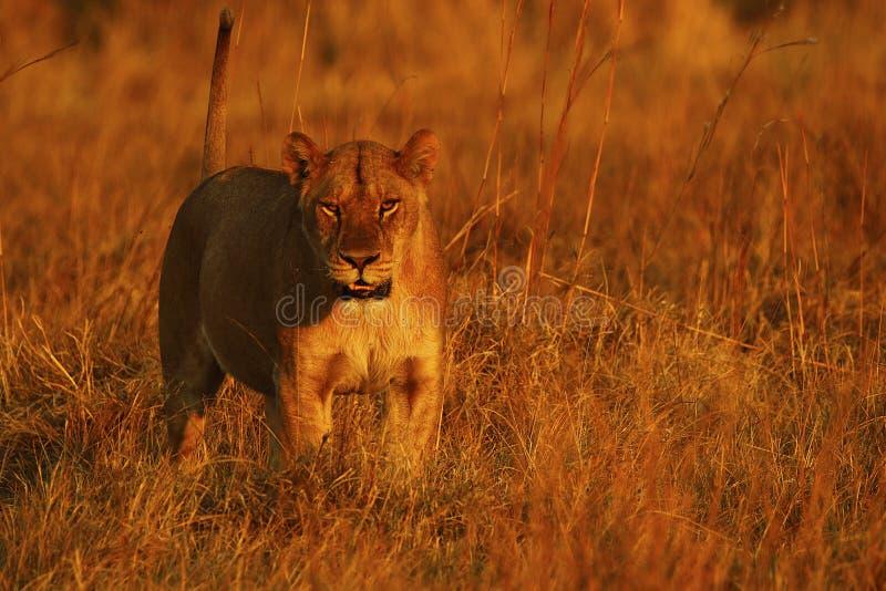 Giovane leone femminile superbo nell'orgoglio fotografia stock