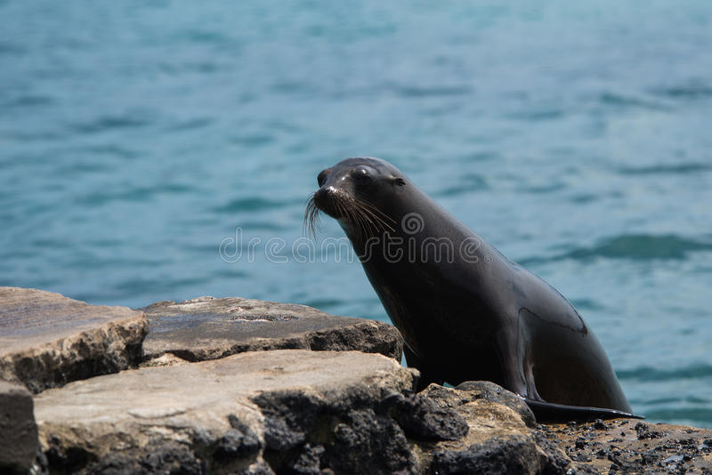 Giovane leone marino immagini stock libere da diritti