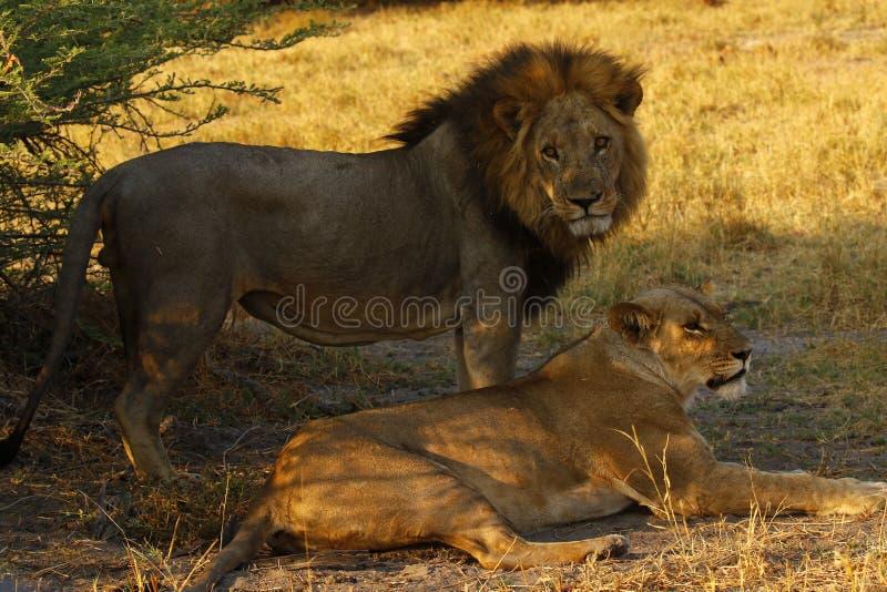 Giovane leone maschio adulto superbo pronto a condurre l'orgoglio immagini stock libere da diritti