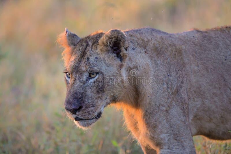 Giovane leone maschio nel parco nazionale di Kruger immagine stock