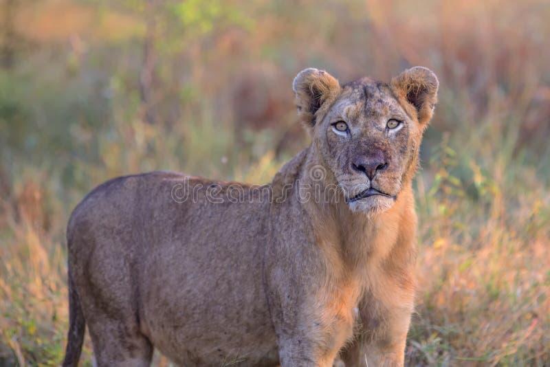 Giovane leone maschio nel parco nazionale di Kruger fotografie stock