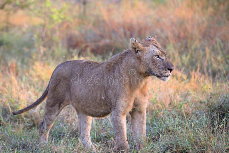 Giovane leone maschio nel parco nazionale di Kruger immagini stock