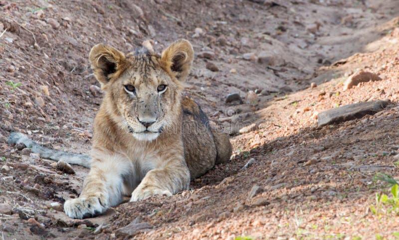 Giovane leone nel Maasai Mara, Kenya fotografia stock