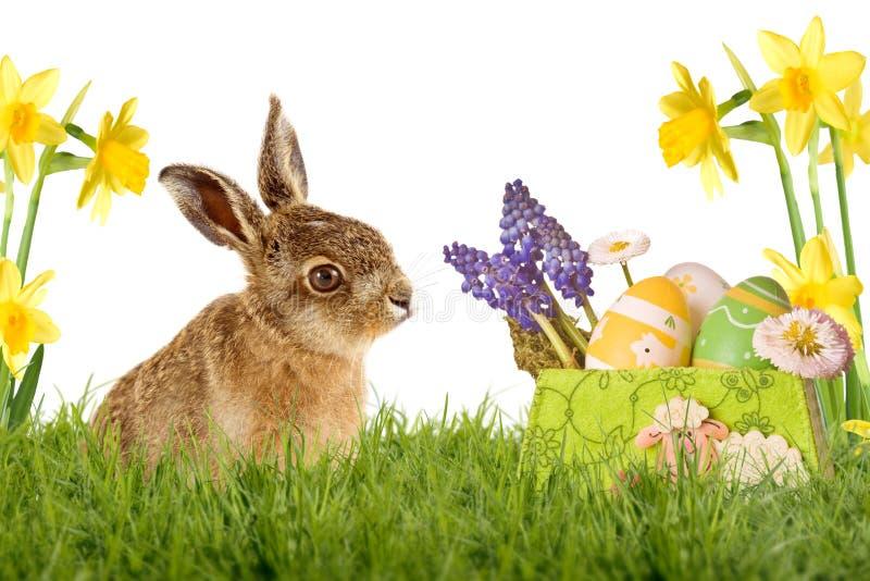 Giovane lepre, coniglietto di pasqua che si siede sul prato verde fotografia stock