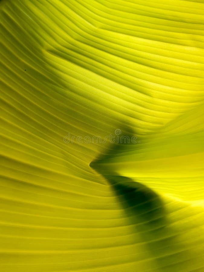 Giovane lesf della banana nel giardino fotografie stock libere da diritti