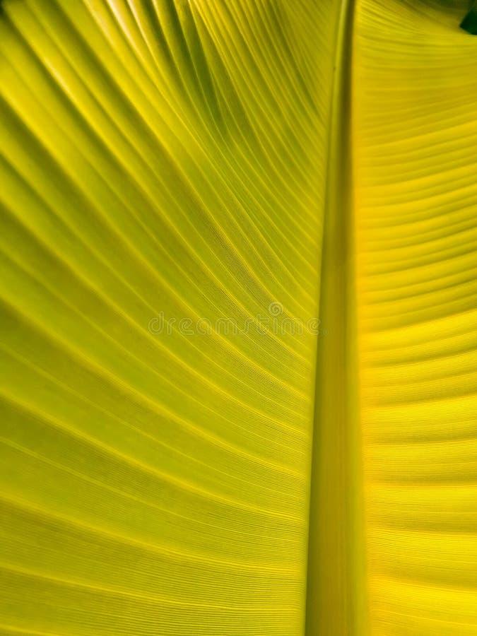 Giovane lesf della banana nel giardino immagine stock libera da diritti