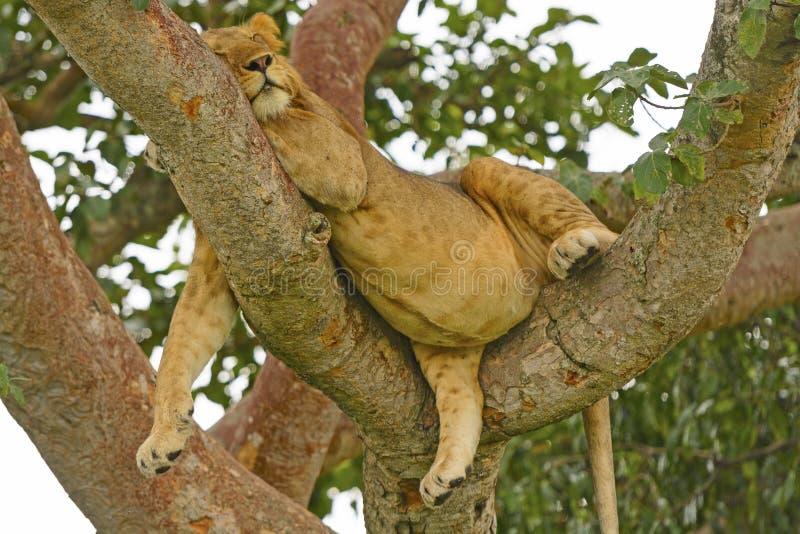 Giovane Lion Resting maschio in un albero dopo un grande pasto fotografia stock libera da diritti