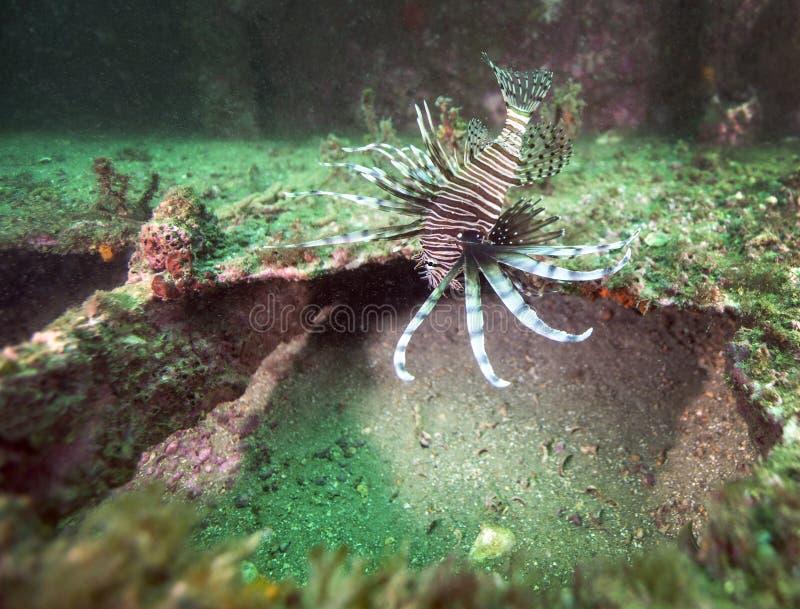 Giovane Lionfish nell'esposizione completa di minaccia immagine stock