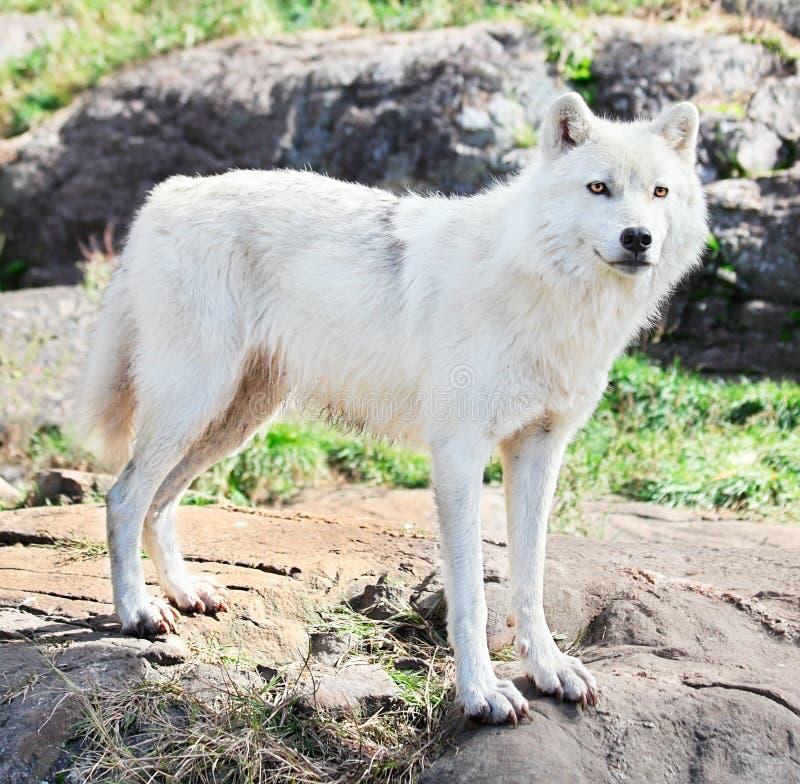 Giovane lupo artico che si leva in piedi sulle rocce immagini stock libere da diritti