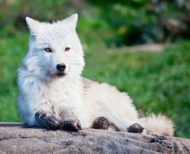 Giovane lupo artico che si trova giù su una roccia fotografie stock
