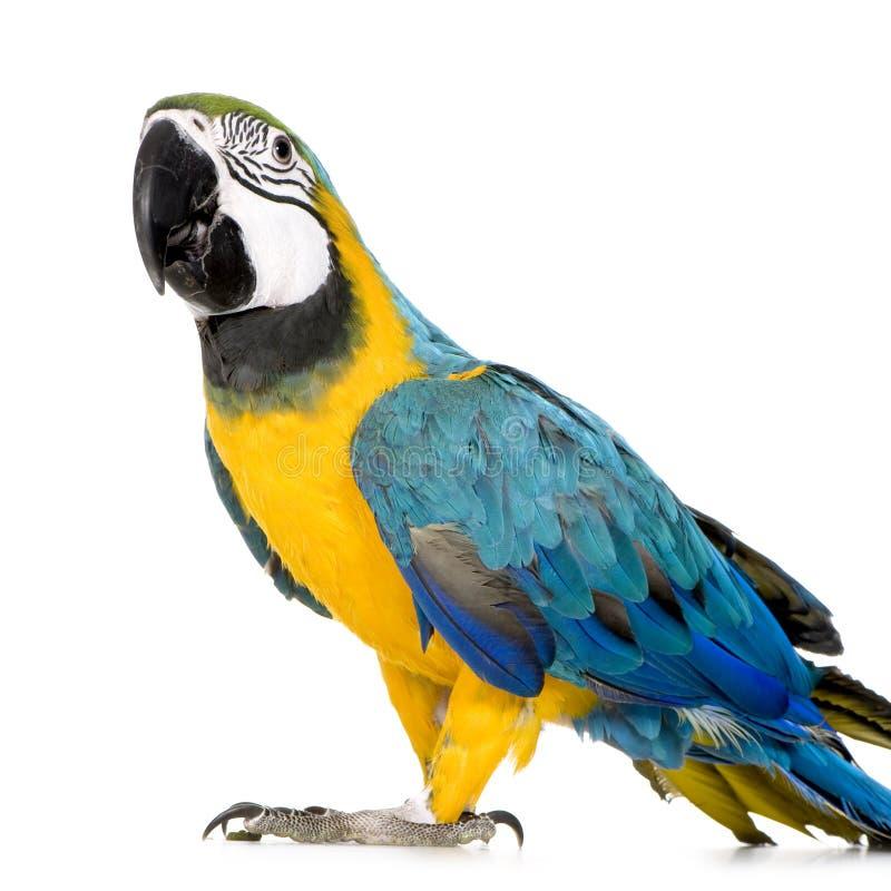 Giovane Macaw Blu-e-giallo fotografia stock