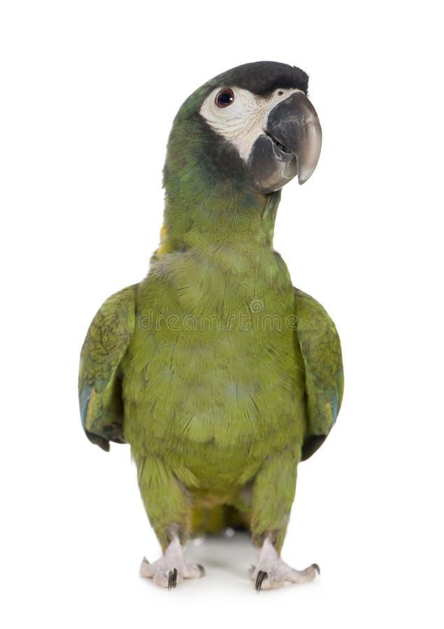Giovane Macaw messo un colletto giallo - auricollis di Primolius fotografia stock libera da diritti