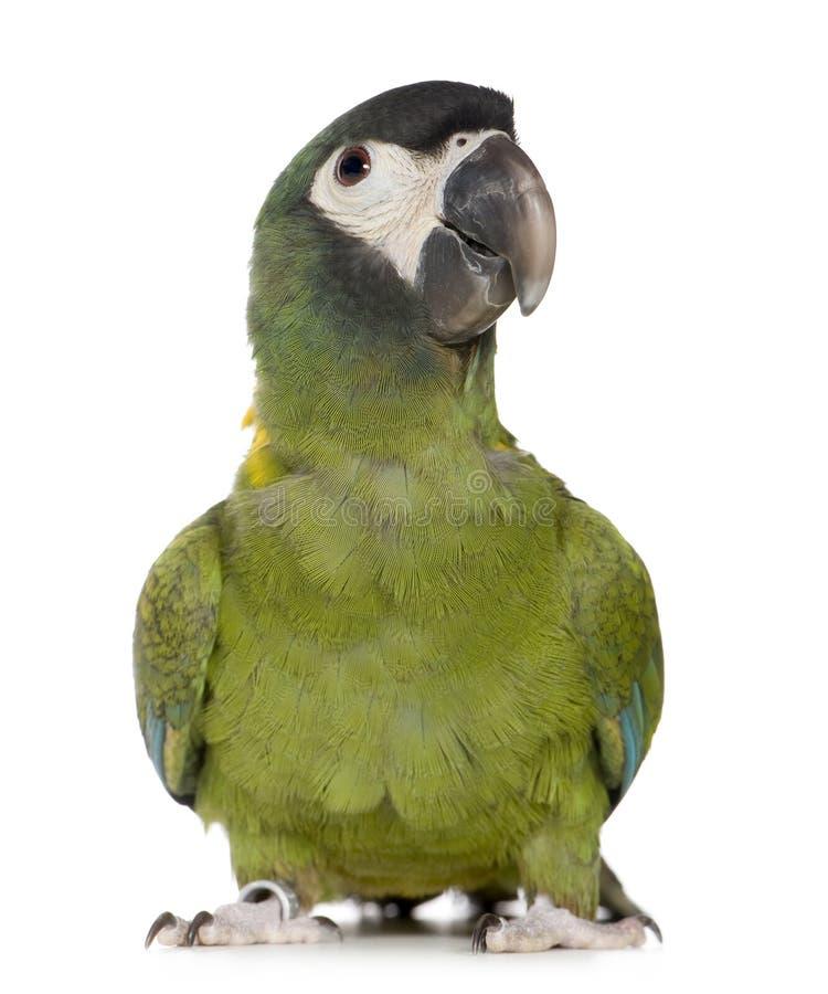 Giovane Macaw messo un colletto giallo - auricollis di Primolius fotografie stock libere da diritti