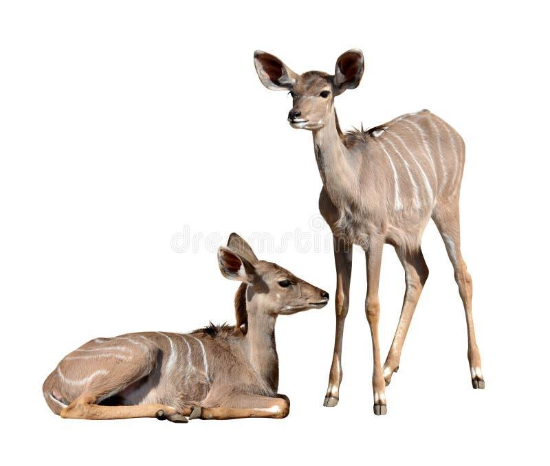 Giovane maggior kudu immagini stock