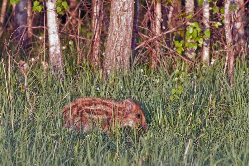 Giovane maiale selvaggio nella foresta immagine stock libera da diritti