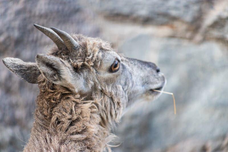 Giovane maschio caucasico orientale del tur sulla pietra Nome latino - cylindricornis che della capra guarda fisso meditatamente  fotografia stock