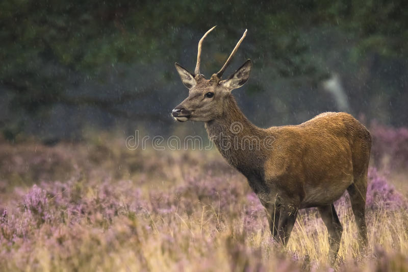 Giovane maschio dei cervi nobili in fregola fotografie stock libere da diritti