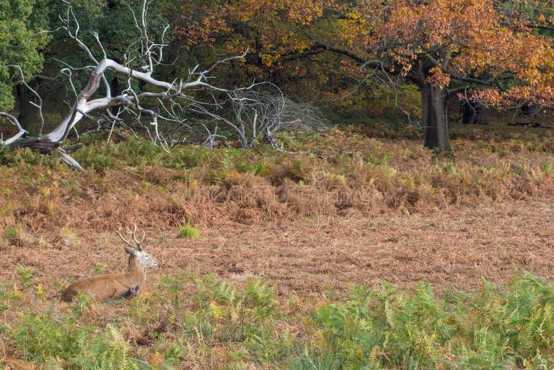 Giovane maschio dei cervi rossi immagini stock libere da diritti