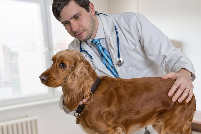Giovane medico veterinario sta esaminando un cane nella clinica del veterinario immagine stock