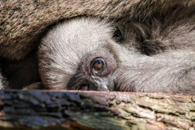 Giovane Moloch argenteo Gibbon immagini stock libere da diritti