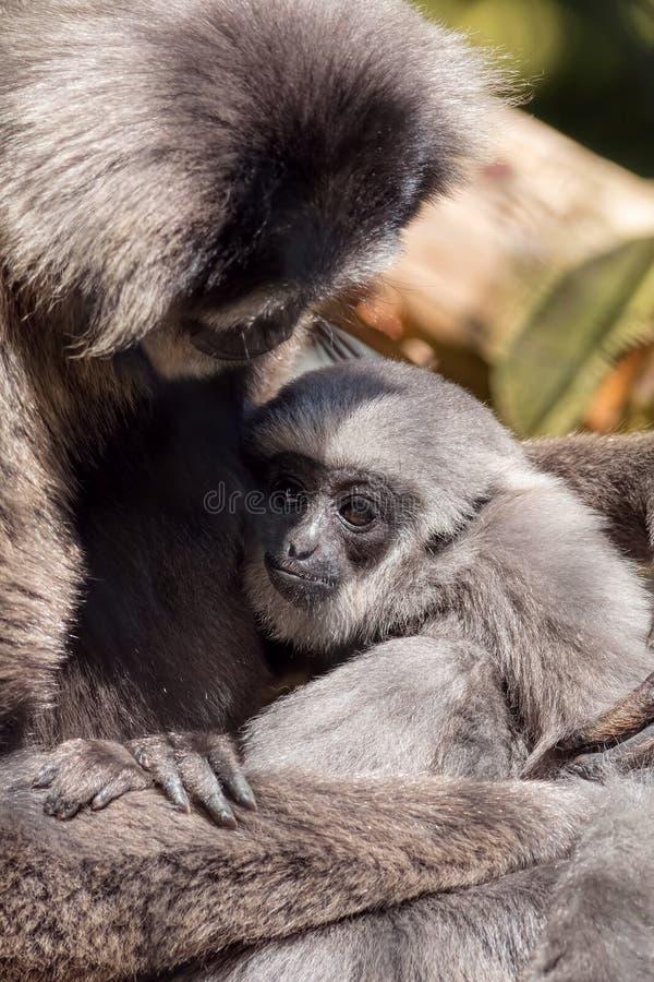Giovane Moloch argenteo Gibbon con la madre fotografia stock libera da diritti