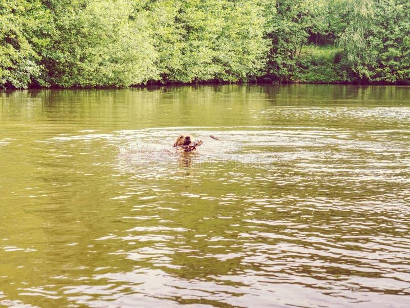 Giovane nuotata di golden retriever nello stagno del paese Nuoto felice del cane con il ramo immagini stock