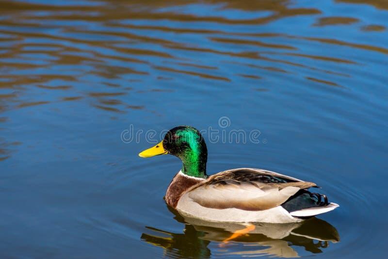 Giovane nuoto piacevole dell'anatra di Mallard sulla molla in anticipo del lago immagine stock