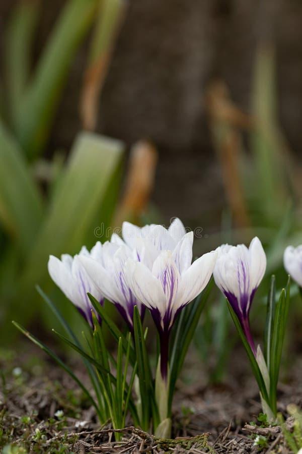 Giovane nuova floricultura del croco della viola bianca in giardino immagini stock libere da diritti