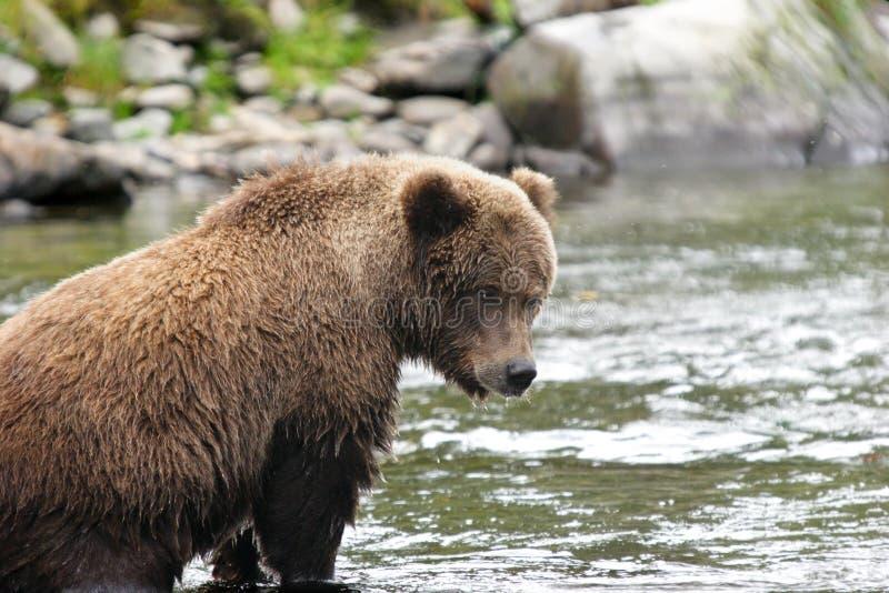 Giovane orso di orso grigio nel suo punto di pesca fotografia stock libera da diritti