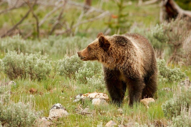 Giovane orso grigio nel parco nazionale di Yellowstone, Wyoming fotografia stock