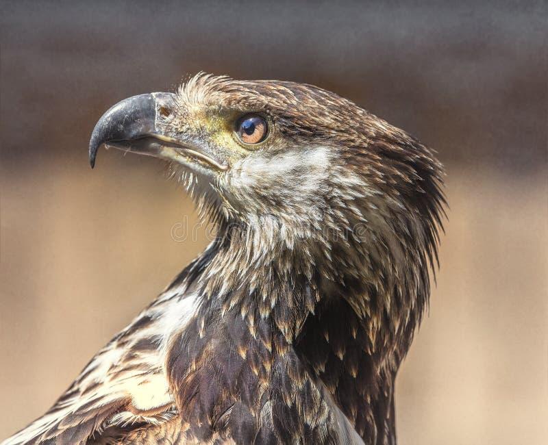 Giovane pesce Eagle africano fotografia stock libera da diritti