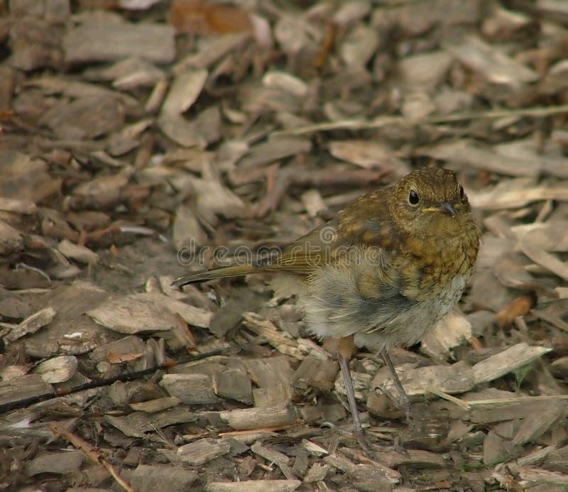 Download Giovane Pettirosso Nell'attesa Immagine Stock - Immagine di wildlife, seno: 221723
