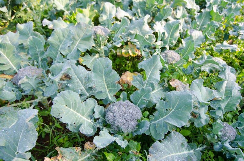 Giovane pianta dei broccoli immagine stock libera da diritti