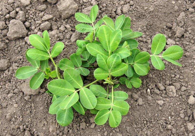Giovane pianta dell'arachide immagine stock