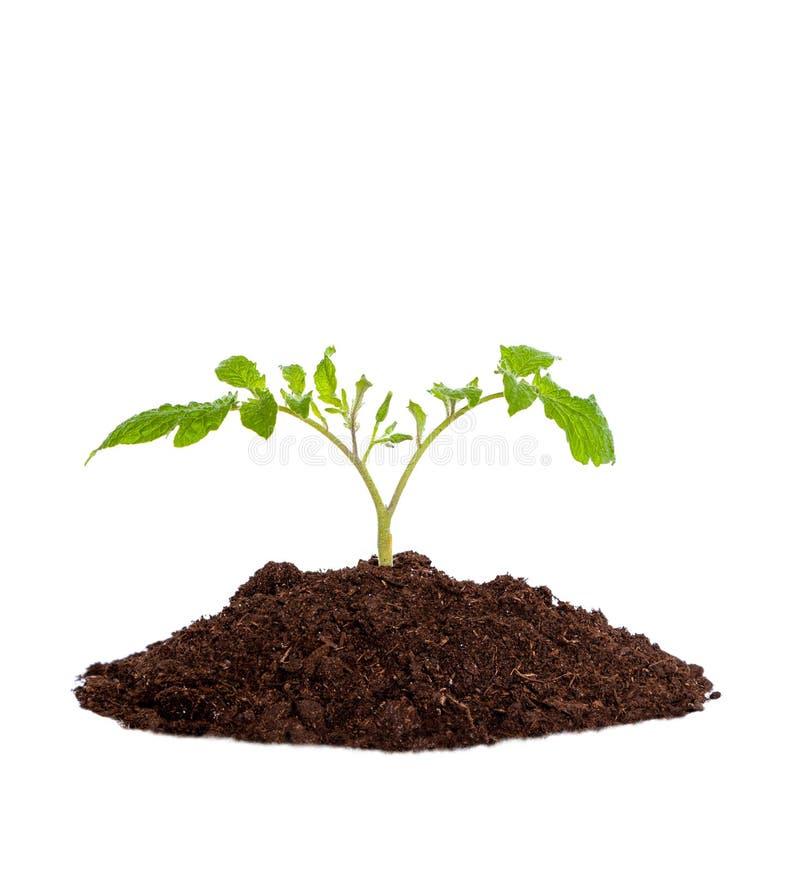 Giovane pianta della piantina che cresce dal suolo su fondo bianco immagini stock libere da diritti