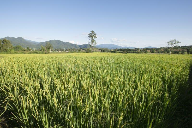 Giovane pianta di riso fotografie stock