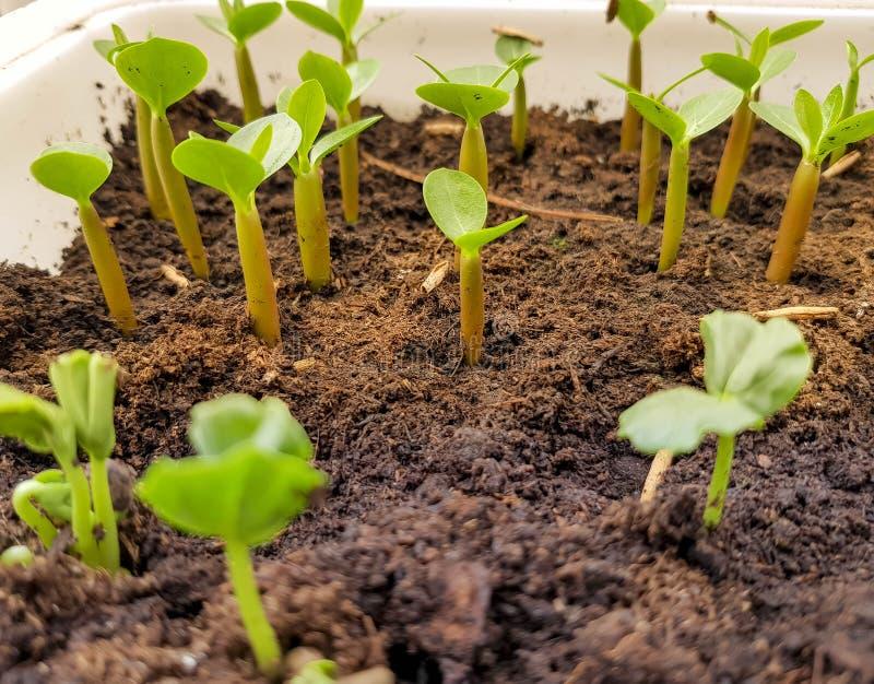 Giovane pianta verde che cresce nel vaso immagini stock libere da diritti
