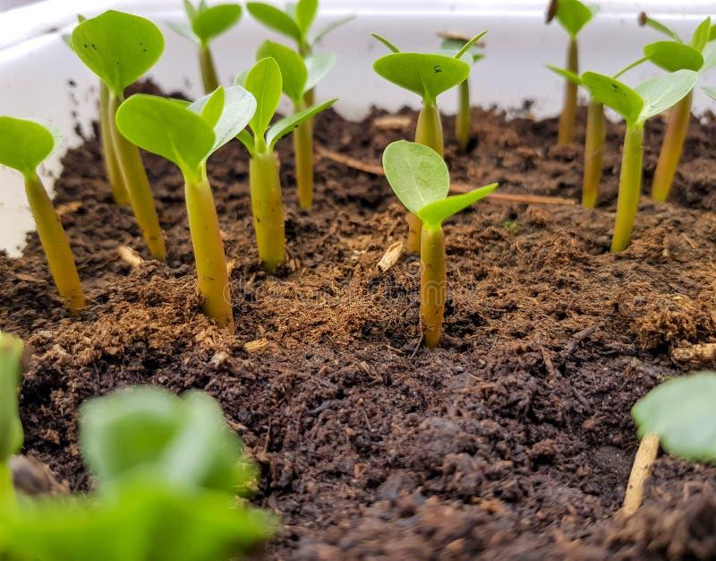 Giovane pianta verde che cresce nel vaso fotografia stock libera da diritti