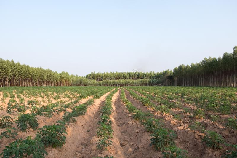 Giovane piantagione del giacimento della tapioca della manioca immagini stock