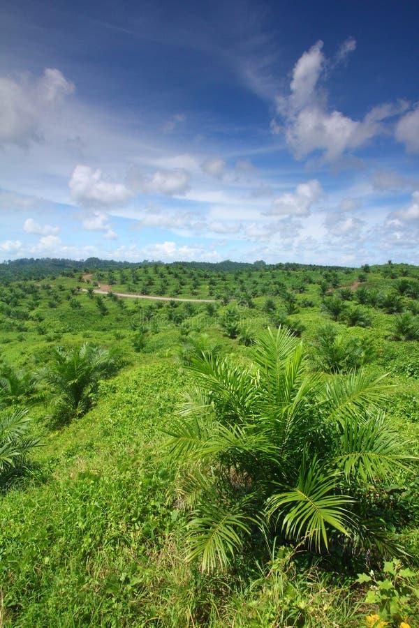 Giovane piantagione della palma da olio immagine stock libera da diritti