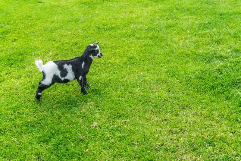 Giovane piccola piccola capra in bianco e nero che sta nel pascolo immagini stock libere da diritti